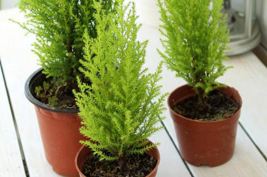 香松盆栽养殖方法和注意事项