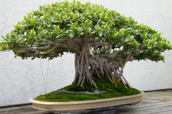 榕树盆景的养殖方法和注意事项