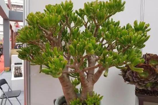 多肉吸财树的养殖方法和注意事项