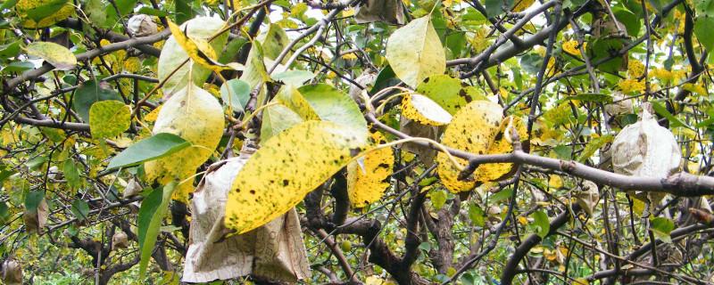 果树叶子发黄什么原因