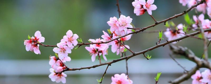 桃花適合在什么地方生長
