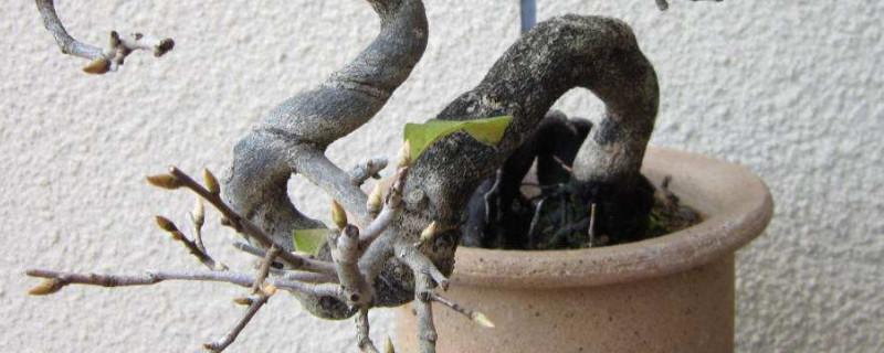 老鸦柿盆景养护与管理