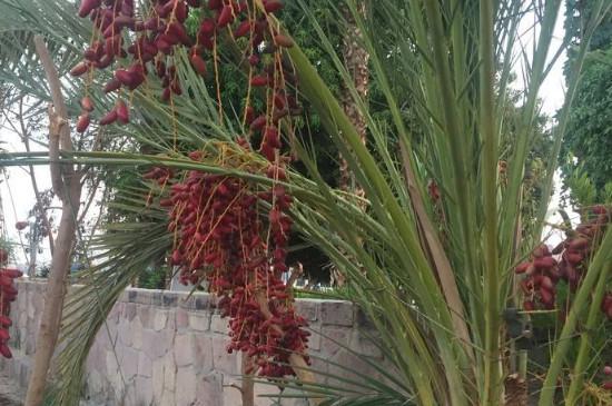 椰枣树可盆栽几年结果