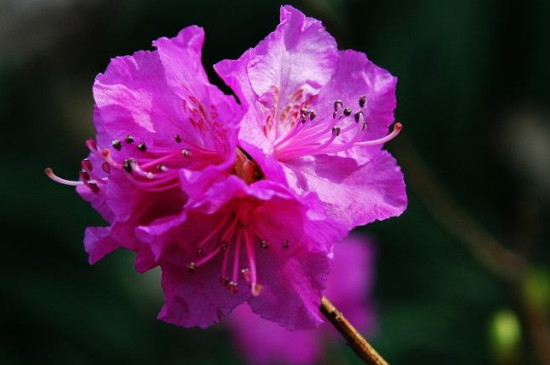 迎红杜鹃的花语