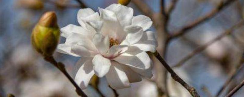 星花玉兰的种植方法