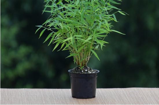 姬翠竹的养殖方法和注意事项