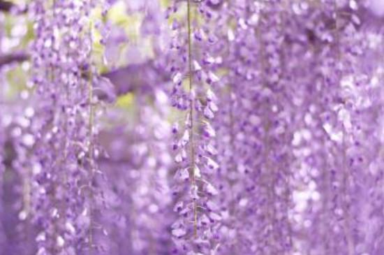 多花紫藤的寓意