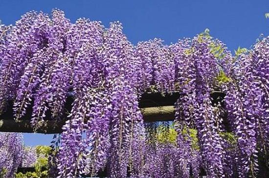 多花紫藤怎么繁殖