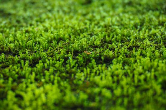 苔藓植物长不高是因为什么原因