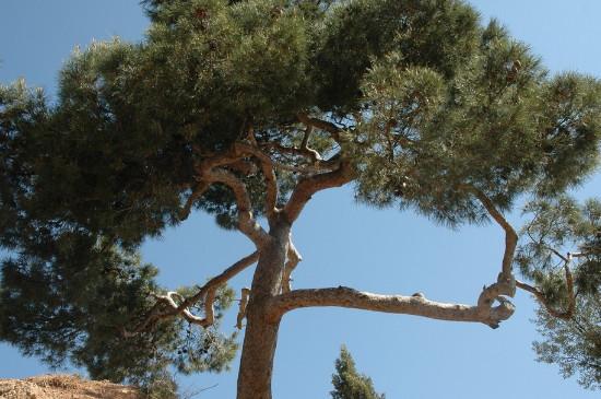 松树是用什么方法传播种子的