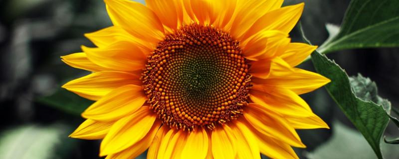 1-10朵向日葵花语是什么