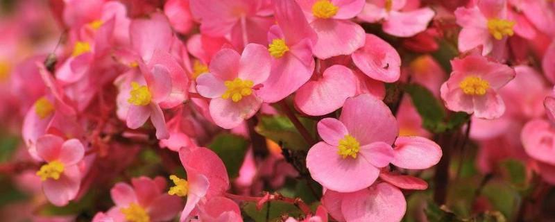 四季海棠花的養殖方法和注意事項 盆栽