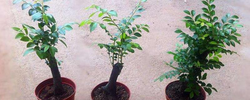 紫檀盆景的養殖方法和注意事項
