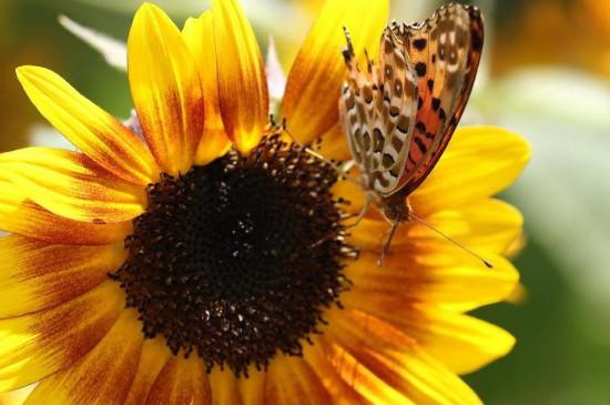 向阳花的寓意和花语