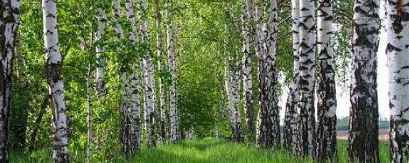 桦树和杨树的区别