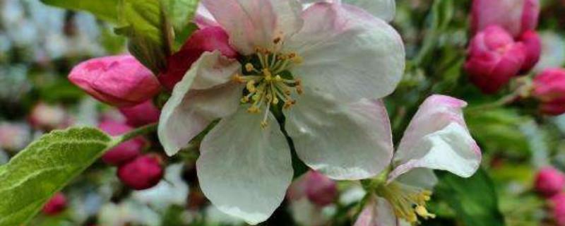 苹果树秋天开花怎么回事