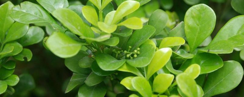 米兰花叶片黄褐斑是什么原因