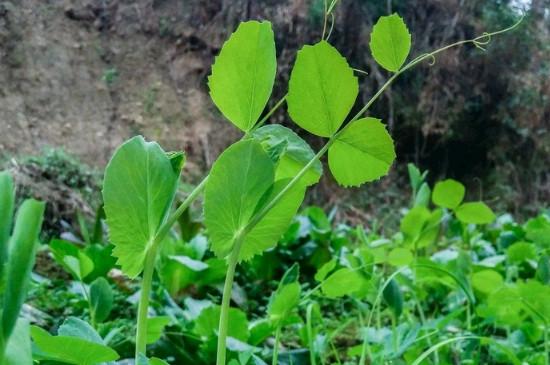 豌豆尖的種植方法和時間