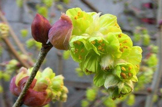 蜡瓣花什么时候开花
