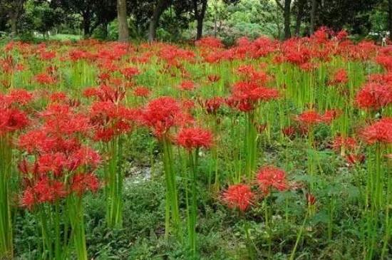 红花石蒜的花语是什么