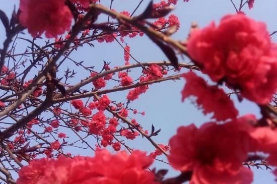 梅花养殖方法和注意事项的种植方法