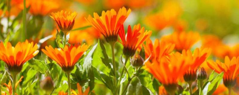 芳香万寿菊的花期