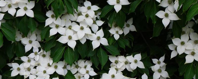 尖叶四照花与四照花的区别