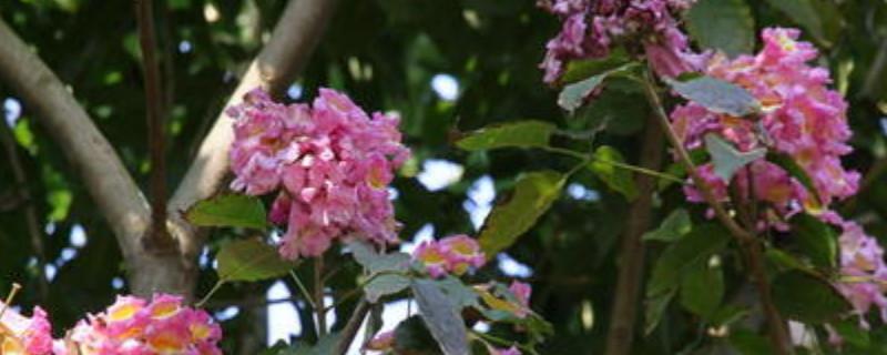 紫花风铃木一年能长几公分大