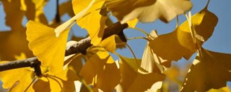 银杏叶的寓意和花语是什么