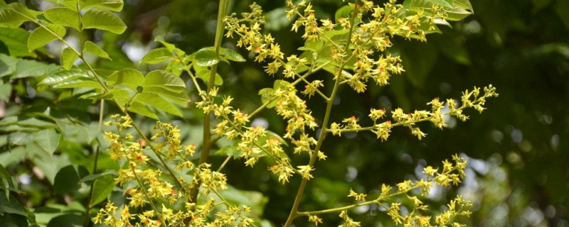 黄山栾树的花是什么颜色
