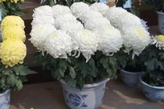 盆栽菊花到了第二年怎么办