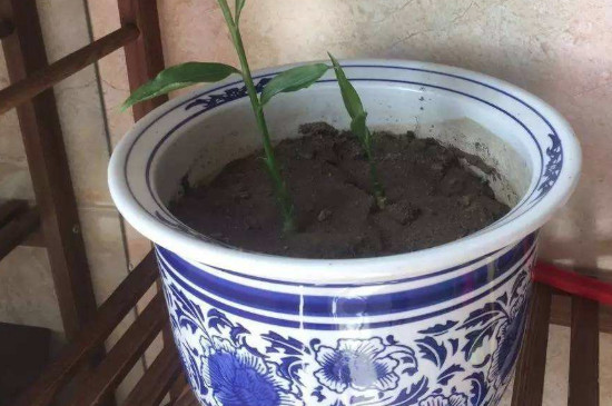生姜发芽了可以种盆栽吗