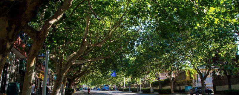 梧桐樹一年四季特點