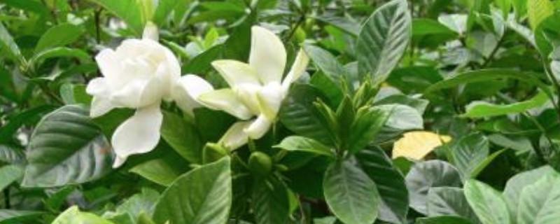 牡丹栀子与大花栀子的区别