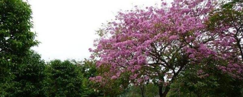紫花风铃木什么时候移植合适