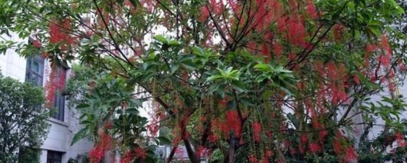 红花玉蕊的花语是什么?