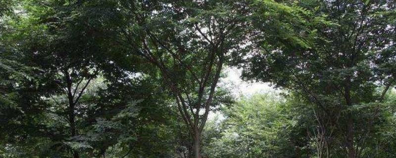 榉树的寓意和象征