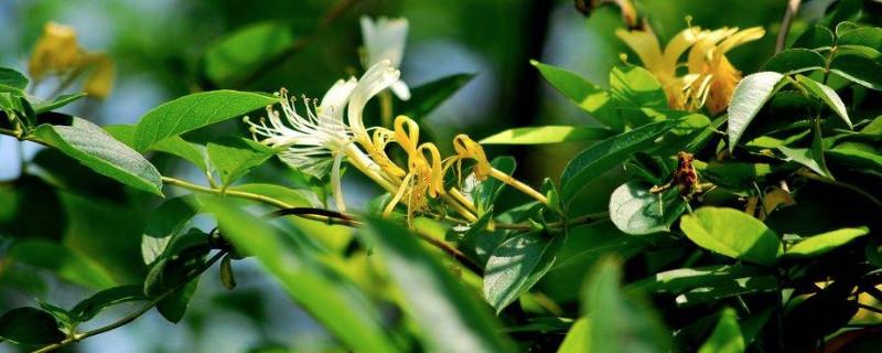 金銀花的花朵為了什么會變