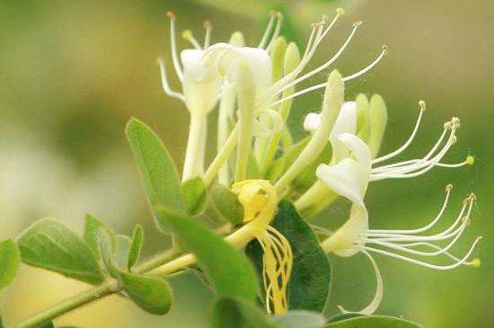 金银花的花朵为了什么会变