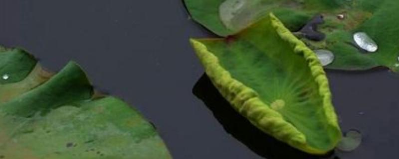 金银莲花叶子上有黄点怎么办