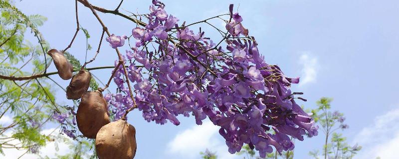 蓝花楹怎么种植