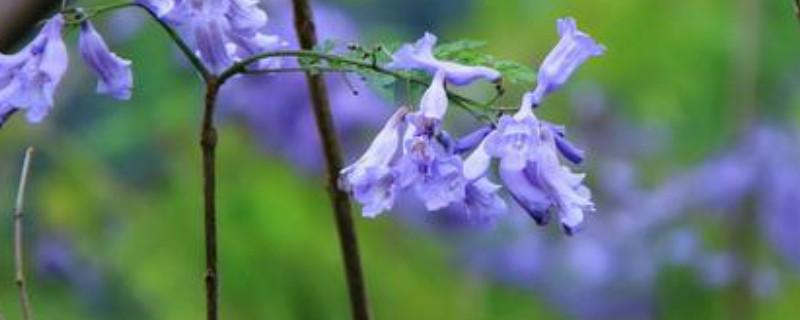 蓝花楹怎么繁殖