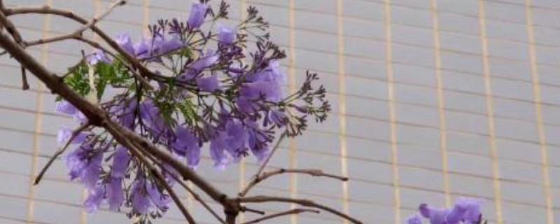 蓝花楹如何繁殖