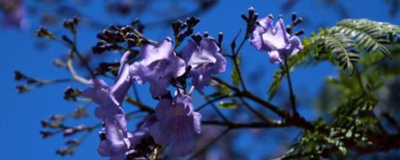 蓝花楹如何施肥