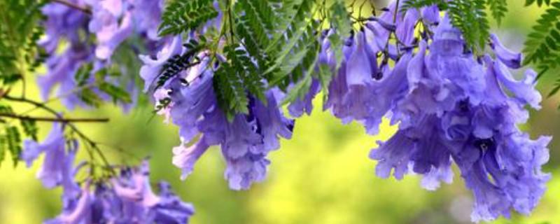 蓝花楹如何播种