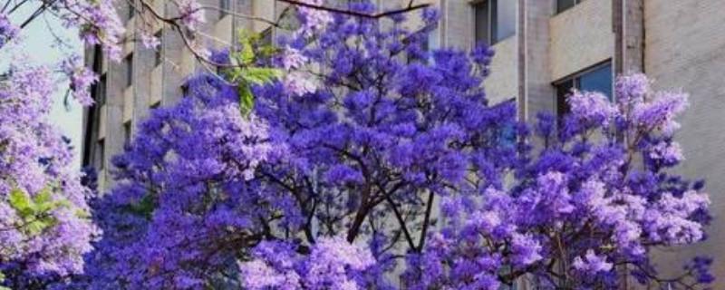 蓝花楹如何做盆景