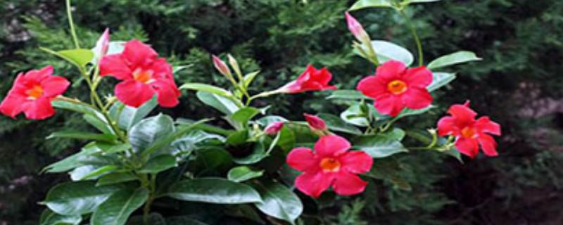 萬里飄香藤的養殖方法和注意事項