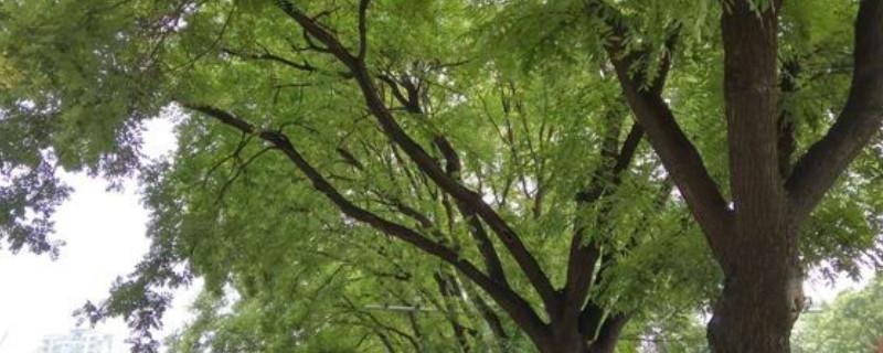 榉树怎么施肥