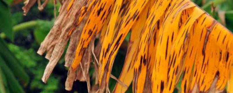 火炬树叶子干枯怎么回事?