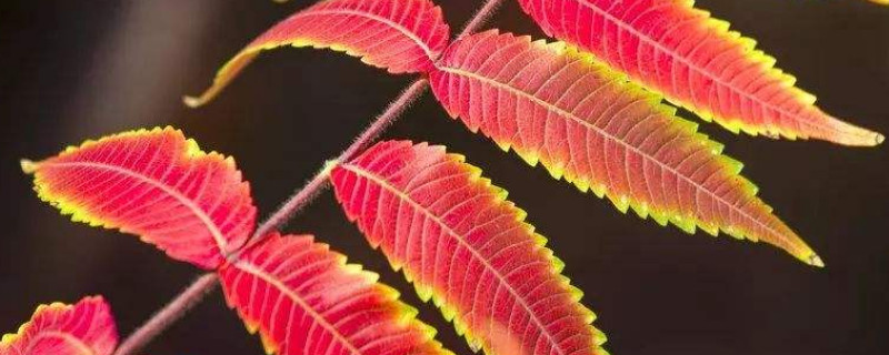 火炬树叶子能吃吗